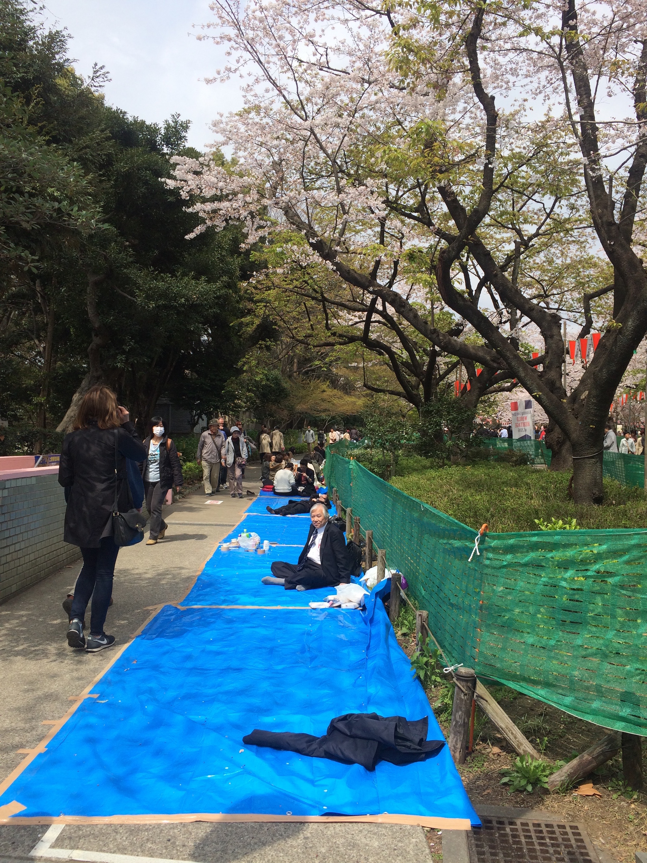 Für die beliebten Picknicke unter Kirschbäumen sind bereits Planen ausgelegt.