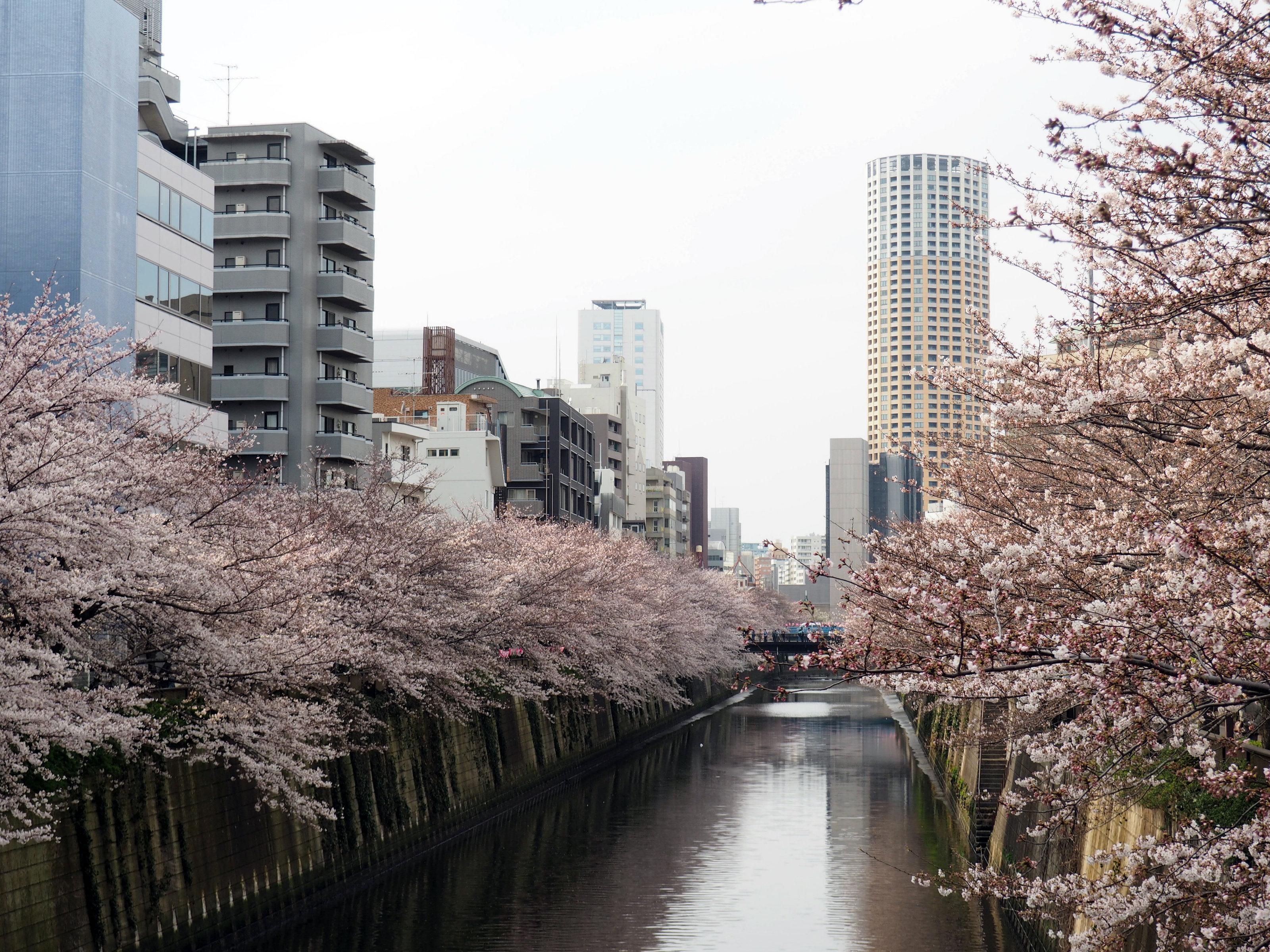 Kirschbäume entlang des Meguro River in Tokyo
