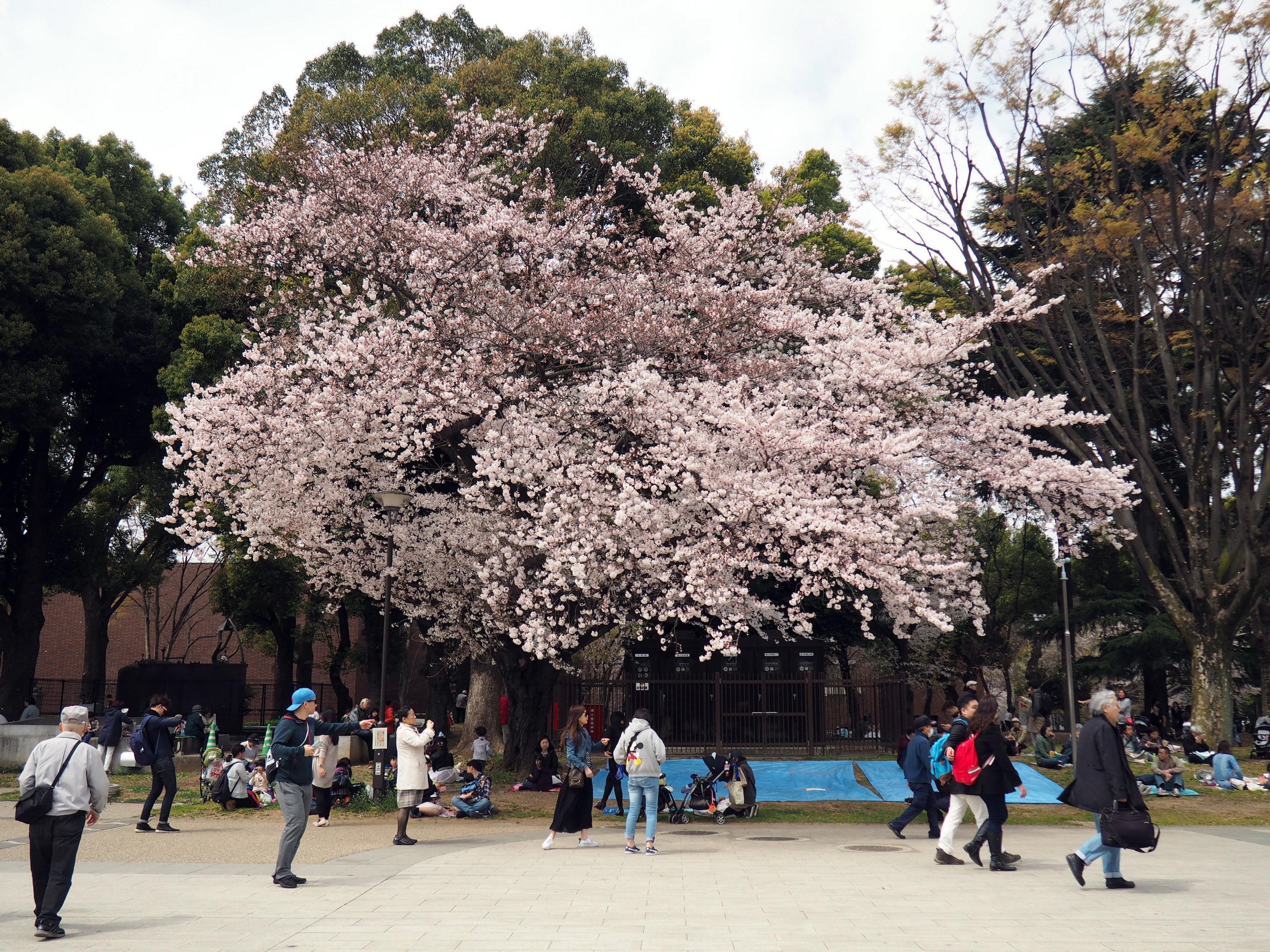 Kirschblüte im Ueno-Park in Tokyo